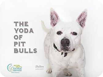 Pit Bull Terrier Dog for adoption in Camarillo, California - *DALTON