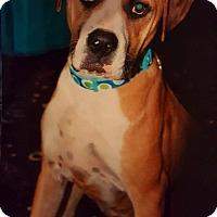 Adopt A Pet :: Leena - Toledo, OH