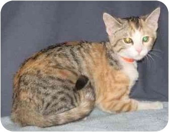 Domestic Shorthair Kitten for adoption in Powell, Ohio - Josie