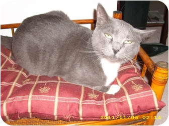 American Shorthair Cat for adoption in Wilmington, Delaware - Jacob