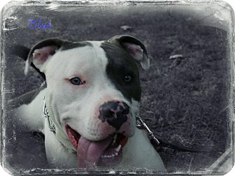 American Staffordshire Terrier Dog for adoption in Cincinnati, Ohio - Blue