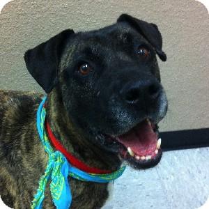 Plott Hound Mix Dog for adoption in Gilbert, Arizona - Doc
