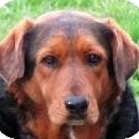 Hound (Unknown Type) Mix Dog for adoption in Quinlan, Texas - Majestic