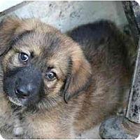 Adopt A Pet :: PUPPIES 1 - Commerce TWP, MI