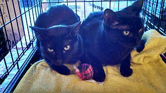 Domestic Shorthair Cat for adoption in Scottsdale, Arizona - Miss Bliss-edob 4/24/12