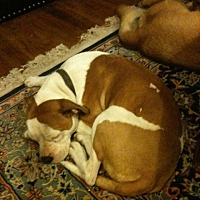 "American Bulldog Dog for adoption in West Los Angeles, California - ""Bella"" URGENT"