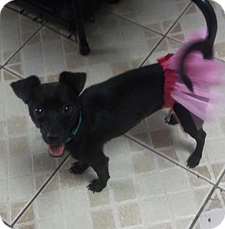 Chihuahua Mix Dog for adoption in Miami, Florida - Sian