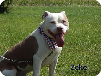 American Pit Bull Terrier Mix Dog for adoption in Bucyrus, Ohio - Zeke