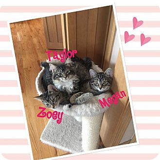 American Shorthair Kitten for adoption in Idaho Falls, Idaho - Zoey