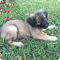 Adopt A Pet :: Butter Bean - Fort Lauderdale, FL