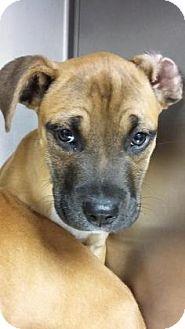 Boxer Mix Puppy for adoption in Paducah, Kentucky - Daniel