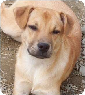 Shepherd (Unknown Type)/Labrador Retriever Mix Puppy for adoption in Highland, New York - nila