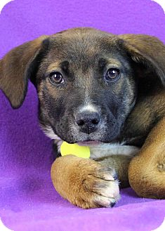 Shepherd (Unknown Type)/Blue Heeler Mix Puppy for adoption in Westminster, Colorado - Nora