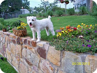 Jack Russell Terrier Dog for adoption in Fort Worth, Texas - LACETTE: AKA: Lacy