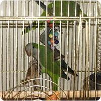 Adopt A Pet :: 2 Wild Quakers seek expercn hm - Vancouver, WA