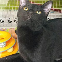 Domestic Shorthair Cat for adoption in St. Cloud, Florida - Chunzie