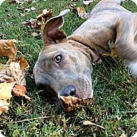 Adopt A Pet :: GRACIE - EDEN PRAIRIE, MN