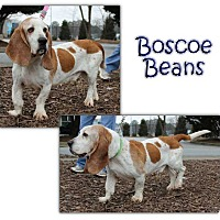 Adopt A Pet :: Boscoe Beans - Marietta, GA