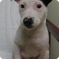 Adopt A Pet :: Pippen - Gary, IN
