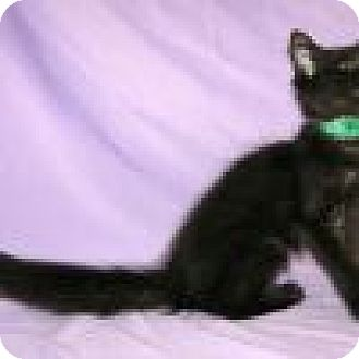 Domestic Mediumhair Cat for adoption in Powell, Ohio - Venus