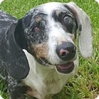 Adopt A Pet :: Pia Pidove - Houston, TX