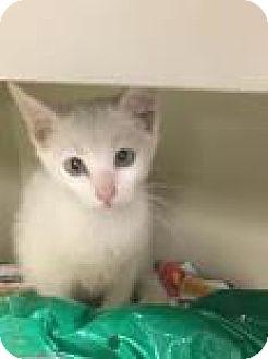 Domestic Shorthair Cat for adoption in Columbus, Georgia - Sagittarius 4281