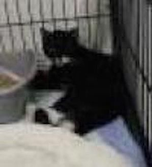 Domestic Shorthair Cat for adoption in Satellite Beach, Florida - Clyde