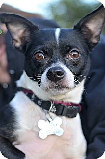 Chihuahua/Terrier (Unknown Type, Small) Mix Dog for adoption in Linden, New Jersey - PEDRO -ADOPTION PENDING