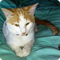 Adopt A Pet :: PATCHES-EMOTIONAL SUPPORT ANIMAL - DeLand, FL