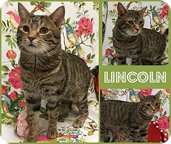 Domestic Shorthair Cat for adoption in Joliet, Illinois - Lincoln