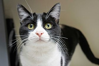 Domestic Shorthair Cat for adoption in Los Angeles, California - Lulu