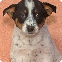 Adopt A Pet :: Domino - Elmwood Park, NJ