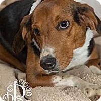 Adopt A Pet :: Shia - Tallahassee, FL