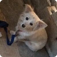 Adopt A Pet :: Amber - Temecula, CA