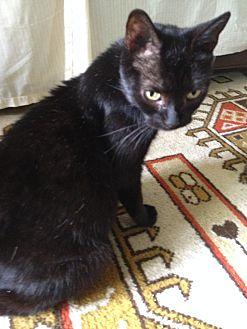 Domestic Shorthair Cat for adoption in Philadelphia, Pennsylvania - Godiva