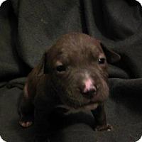 Adopt A Pet :: Kratos (god of strength and po - Sacramento, CA