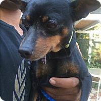 Adopt A Pet :: Dinah - Encino, CA