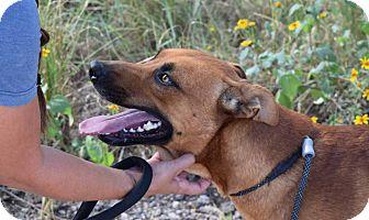 German Shepherd Dog/Chow Chow Mix Dog for adoption in Sierra Vista, Arizona - Woody