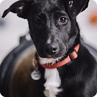 Adopt A Pet :: Logan - Portland, OR