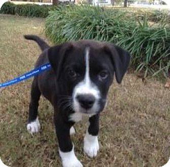 Labrador Retriever/American Bulldog Mix Puppy for adoption in Chattanooga, Tennessee - Champion