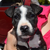 Bull Terrier Mix Puppy for adoption in Allen town, Pennsylvania - Dolly