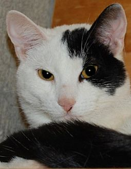 Domestic Shorthair Cat for adoption in Cuba, New York - Velvet