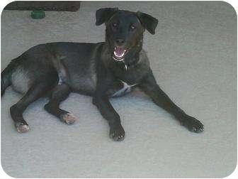 Shepherd (Unknown Type) Mix Puppy for adoption in Gilbert, Arizona - RANGER