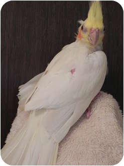Cockatiel for adoption in St. Louis, Missouri - Lola