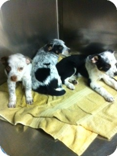 Australian Cattle Dog Puppy for adoption in Lexington, Kentucky - Blue Heeler Puppies