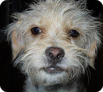 Poodle (Miniature)/Chihuahua Mix Dog for adoption in dewey, Arizona - Maggie