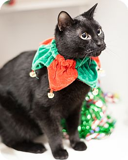 Domestic Shorthair Cat for adoption in Dallas, Texas - Rooster