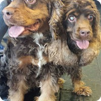 Adopt A Pet :: Kringle - Sugarland, TX