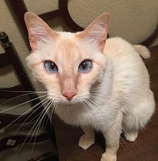 Siamese Cat for adoption in Austin, Texas - Marley