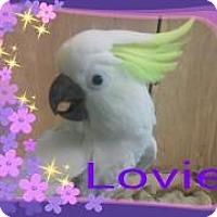 Cockatoo for adoption in Red Oak, Texas - Lovie